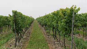 Vignoble en cordons palissés cépage chardonnay